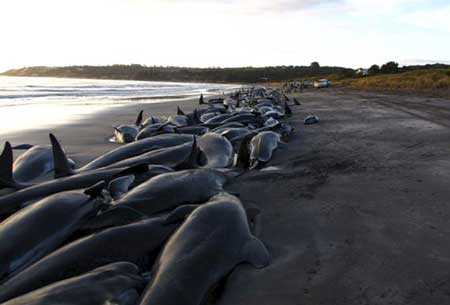 Stranded pilot whales off King Island, Tasmania